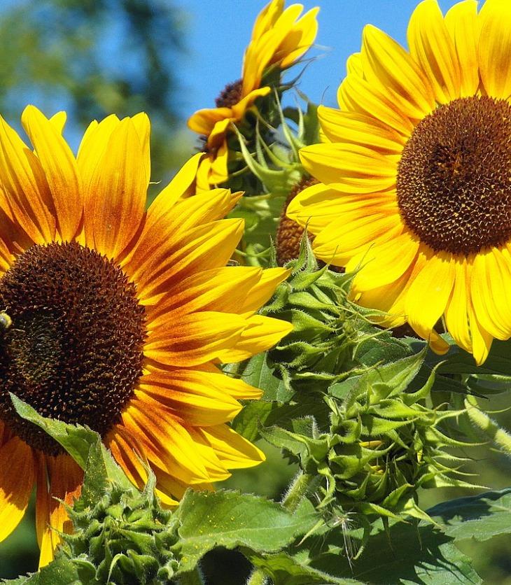Fonte: https://pixabay.com/pt/photos/girass%C3%B3is-jardim-amarelo-cor-4408769/